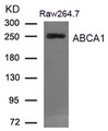 Western blot of extract from Raw264.7 cells using ABCA1 antibody