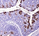 Immunohistochemistry: ABCG8 Antibody (1B10A5) - IHC of ABCG8 in mouse intestine.  This image was taken for the unconjugated form of this product. Other forms have not been tested.