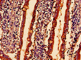 Immunohistochemistry analysis of human small intestine tissue at a dilution of 1:100