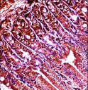 ABL1 / c-ABL Antibody - Mouse Abl1 Antibody immunohistochemistry of formalin-fixed and paraffin-embedded mouse duodenum tissue followed by peroxidase-conjugated secondary antibody and DAB staining.
