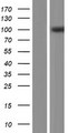 ACAP3 Protein - Western validation with an anti-DDK antibody * L: Control HEK293 lysate R: Over-expression lysate