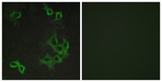Immunofluorescence analysis of COS7 cells, using CCRL1 Antibody. The picture on the right is blocked with the synthesized peptide.