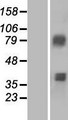 ACSM3 / SAH Protein - Western validation with an anti-DDK antibody * L: Control HEK293 lysate R: Over-expression lysate