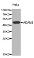 Adam5 Antibody - Western blot analysis of extracts of HeLa cells.