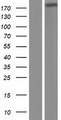 ADAMTSL3 Protein - Western validation with an anti-DDK antibody * L: Control HEK293 lysate R: Over-expression lysate