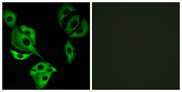 Immunofluorescence analysis of A549 cells, using ADCK4 Antibody. The picture on the right is blocked with the synthesized peptide.