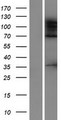 ADNP2 Protein - Western validation with an anti-DDK antibody * L: Control HEK293 lysate R: Over-expression lysate