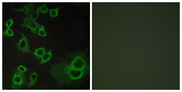 ADORA3 / Adenosine A3 Receptor Antibody - Immunofluorescence analysis of COS7 cells, using ADORA3 Antibody. The picture on the right is blocked with the synthesized peptide.