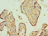 ADSS Antibody - Immunohistochemistry of paraffin-embedded human placenta using antibody at 1:100 dilution.