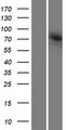 AGAP4 Protein - Western validation with an anti-DDK antibody * L: Control HEK293 lysate R: Over-expression lysate