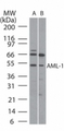 AML1 / RUNX1 Antibody - Western blot ofAML-1 in (A) human Ramos and(B) mouse Raw cell lysate using antibody at5 ug/ml.