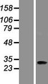 ANKRD45 Protein - Western validation with an anti-DDK antibody * L: Control HEK293 lysate R: Over-expression lysate