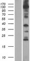 ANO8 / TMEM16H Protein - Western validation with an anti-DDK antibody * L: Control HEK293 lysate R: Over-expression lysate