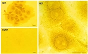 AANAT in COS7 and 1E7 cells detected by ICC.. Cells were grown on two-well chamber slides and fixed with 2.5% glutaraldehyde; 1E7 cells treated with FSK for 3 h (two magnifications). COS, COS7 cells treated with FSK for 3 h.  This image was taken for the unconjugated form of this product. Other forms have not been tested.