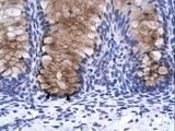 ANXA1 / Annexin A1 antibody LS-C30822 was used in IHC to stain formalin-fixed, paraffin-embedded human intestine.  This image was taken for the unconjugated form of this product. Other forms have not been tested.