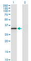 Western blot of ANXA3 expression in transfected 293T cell line by ANXA3 monoclonal antibody (M07), clone 1E2.