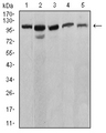 Western blot analysis using ATP2A1 mouse mAb against C2C12 (1), COS7 (2), Hela (3), K562 (4), and Jurkat (5) cell lysate.