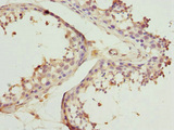 Immunohistochemistry of paraffin-embedded human testis tissue at dilution 1:100
