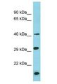 BRICD5 antibody Western Blot of THP-1. Antibody dilution: 1 ug/ml.  This image was taken for the unconjugated form of this product. Other forms have not been tested.