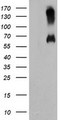 HEK293T cells were transfected with the pCMV6-ENTRY control (Left lane) or pCMV6-ENTRY C18orf8 (Right lane) cDNA for 48 hrs and lysed. Equivalent amounts of cell lysates (5 ug per lane) were separated by SDS-PAGE and immunoblotted with anti-C18orf8.
