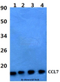 Western blot of CCL7 antibody at 1:500 dilution. Lane 1: HEK293T whole cell lysate. Lane 2: Raw264.7 whole cell lysate. Lane 3: sp2/0 whole cell lysate. Lane 4: PC12 whole cell lysate.