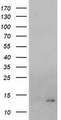 HEK293T cells were transfected with the pCMV6-ENTRY control (Left lane) or pCMV6-ENTRY CHCHD5 (Right lane) cDNA for 48 hrs and lysed. Equivalent amounts of cell lysates (5 ug per lane) were separated by SDS-PAGE and immunoblotted with anti-CHCHD5.
