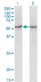 Western Blot analysis of COX15 expression in transfected 293T cell line by COX15 monoclonal antibody (M01), clone 2D2.Lane 1: COX15 transfected lysate (Predicted MW: 46 KDa).Lane 2: Non-transfected lysate.