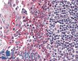 Anti-CSNK1E antibody IHC of human tonsil. Immunohistochemistry of formalin-fixed, paraffin-embedded tissue after heat-induced antigen retrieval. Antibody LS-B2412 concentration 5 ug/ml.