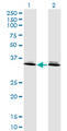 Western Blot analysis of DLX6 expression in transfected 293T cell line by DLX6 monoclonal antibody (M06), clone 2D7.Lane 1: DLX6 transfected lysate(19.708 KDa).Lane 2: Non-transfected lysate.