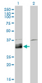 Western Blot analysis of DNASE1L1 expression in transfected 293T cell line by DNASE1L1 monoclonal antibody (M02), clone 4E8.Lane 1: DNASE1L1 transfected lysate(33.9 KDa).Lane 2: Non-transfected lysate.