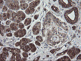 IHC of paraffin-embedded Human pancreas tissue using anti-DPH2 mouse monoclonal antibody.