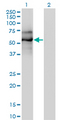Western Blot analysis of EBF1 expression in transfected 293T cell line by EBF1 monoclonal antibody (M01), clone 1C12.Lane 1: EBF1 transfected lysate(64 KDa).Lane 2: Non-transfected lysate.