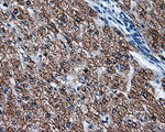 IHC of paraffin-embedded liver tissue using anti-FAHD2A mouse monoclonal antibody. (Dilution 1:50).