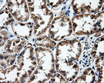 IHC of paraffin-embedded Kidney tissue using anti-FAHD2A mouse monoclonal antibody. (Dilution 1:50).
