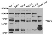 Western blot analysis of extracts of various cell lines, using FANCG antibody.