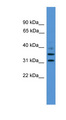 GIMAP6 antibody LS-C117018 Western blot of THP-1 cell lysate.  This image was taken for the unconjugated form of this product. Other forms have not been tested.