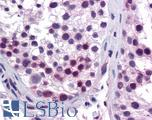 Anti-HOXA5 antibody IHC of human testis. Immunohistochemistry of formalin-fixed, paraffin-embedded tissue after heat-induced antigen retrieval. Antibody LS-B5582 concentration 5 ug/ml.  This image was taken for the unconjugated form of this product. Other forms have not been tested.