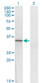 Western Blot analysis of HOXD1 expression in transfected 293T cell line by HOXD1 monoclonal antibody (M01), clone 4F4.Lane 1: HOXD1 transfected lysate(34.1 KDa).Lane 2: Non-transfected lysate.