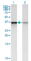 Western Blot analysis of PHC2 expression in transfected 293T cell line by PHC2 monoclonal antibody (M01), clone 1F4.Lane 1: PHC2 transfected lysate (Predicted MW: 35.8 KDa).Lane 2: Non-transfected lysate.