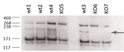 ZCCHC11 antibody (0.2 ug/ml) staining of different Testis lysates from wild type 8-9 week old C57BL/6  (wt) and knock-out (KO) mice (35 ug protein in RIPA buffer). Primary incubation was 2 hours. Detected by chemiluminescence. Data obtained from an anonymous customer.