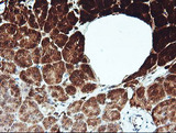 IHC of paraffin-embedded Human pancreas tissue using anti-KLK8 mouse monoclonal antibody.