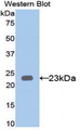 Western blot of recombinant KRT23 / CK3 / Cytokeratin 23.  This image was taken for the unconjugated form of this product. Other forms have not been tested.