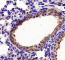 Lactate Dehydrogenase A Antibody - IHC of LDHA in lung tissue.  This image was taken for the unconjugated form of this product. Other forms have not been tested.