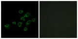 Immunofluorescence of A549 cells, using LILRA1 Antibody. The picture on the right is treated with the synthesized peptide.