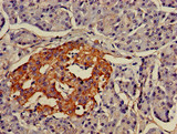 Immunohistochemistry of paraffin-embedded human pancreatic tissue using CSB-PA848414LA01HU at dilution of 1:100