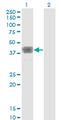 Western Blot analysis of MAGEB1 expression in transfected 293T cell line by MAGEB1 monoclonal antibody (M01), clone 2A4.Lane 1: MAGEB1 transfected lysate (Predicted MW: 39 KDa).Lane 2: Non-transfected lysate.