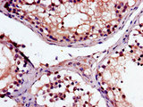 Immunohistochemistry of paraffin-embedded human testis tissue using CSB-PA013369LA01HU at dilution of 1:100