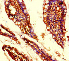 Immunohistochemistry of paraffin-embedded human small intestine tissue at dilution of 1:100