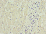 Immunohistochemistry of paraffin-embedded human liver tissue at dilution 1:100