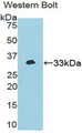 Western blot of recombinant NEK2.  This image was taken for the unconjugated form of this product. Other forms have not been tested.
